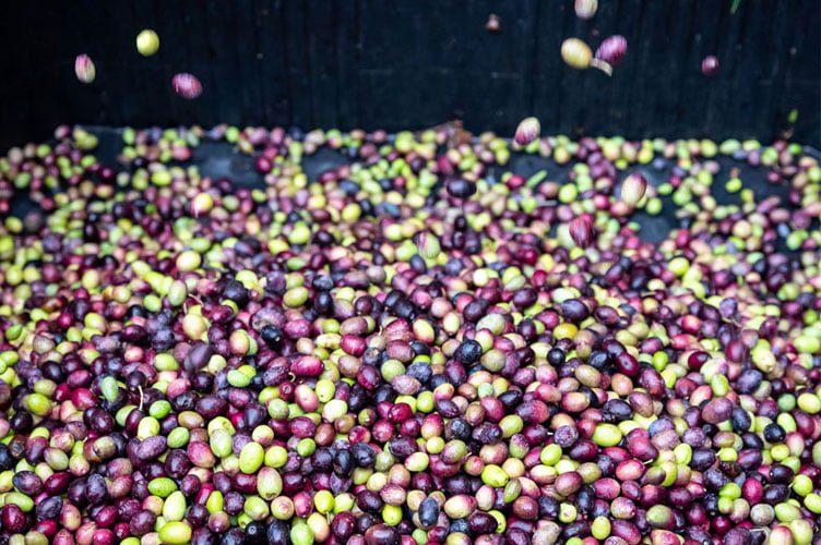Broyage Olives Mas De Coeur