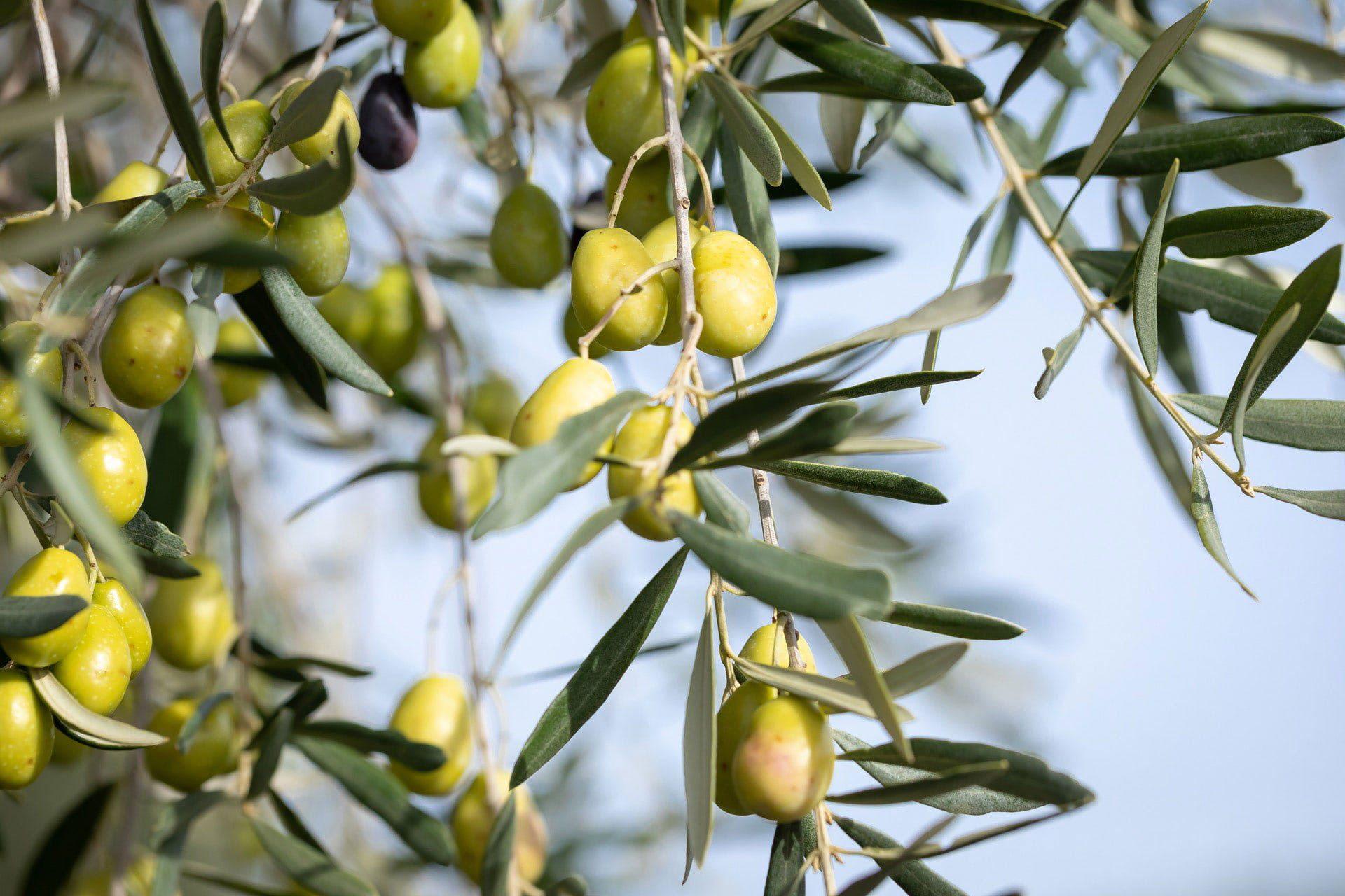 Le Mas De Coeur Olives