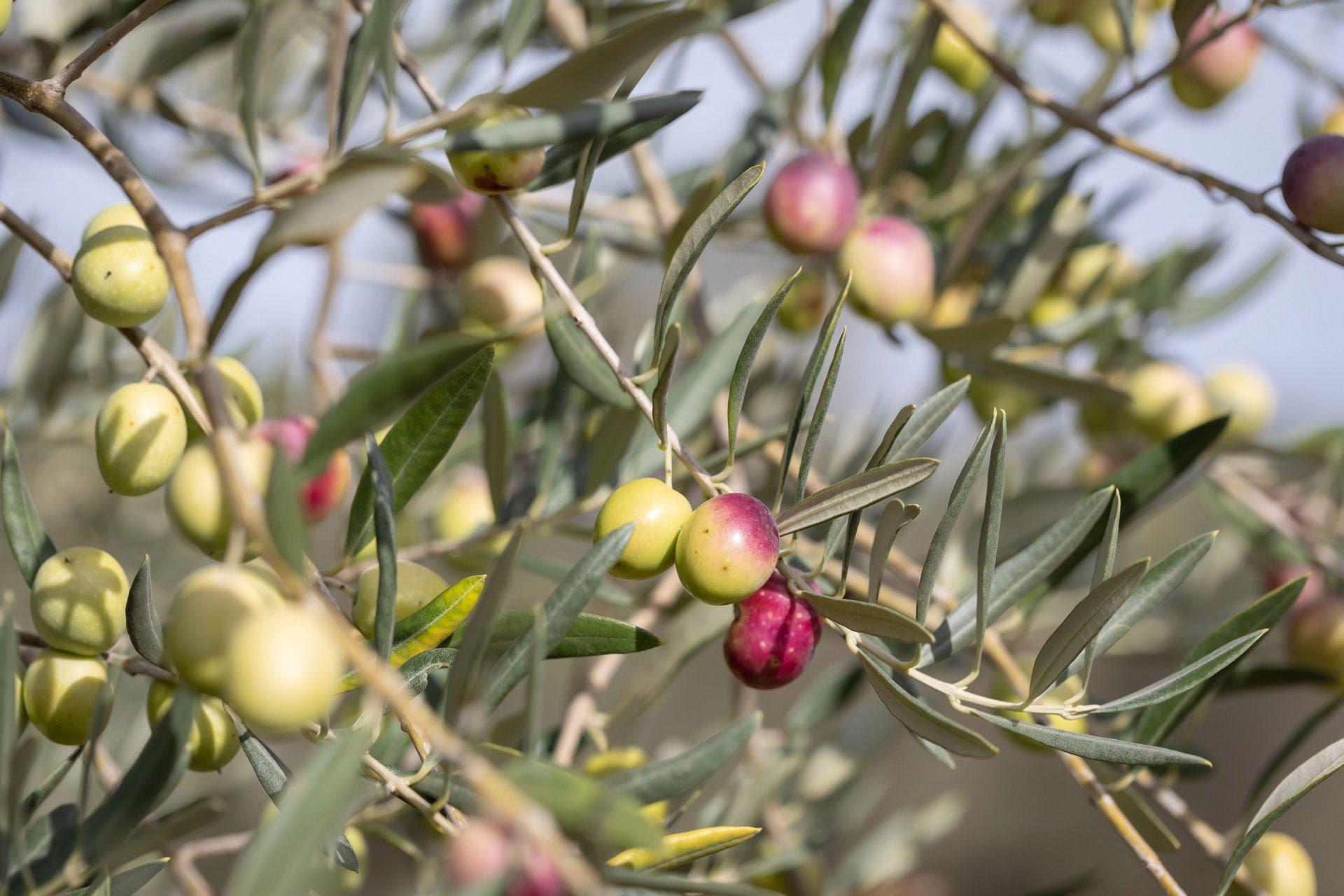 Olives Le Mas De Coeur