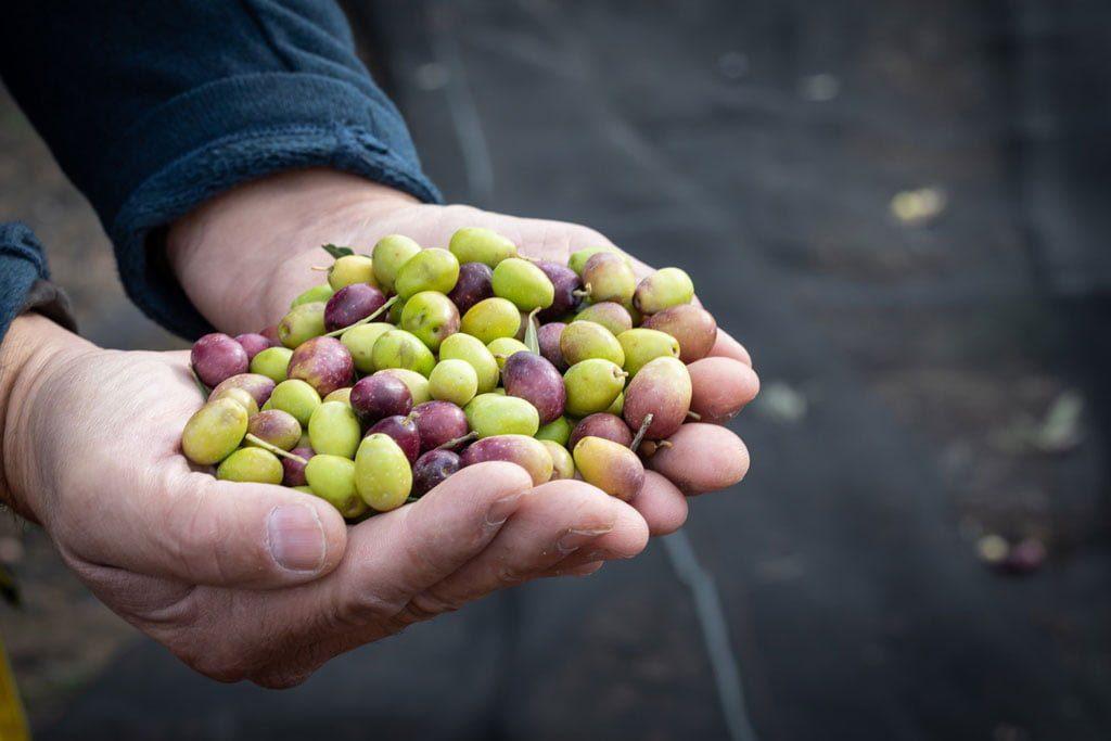 Varietes Olives Mas De Coeur