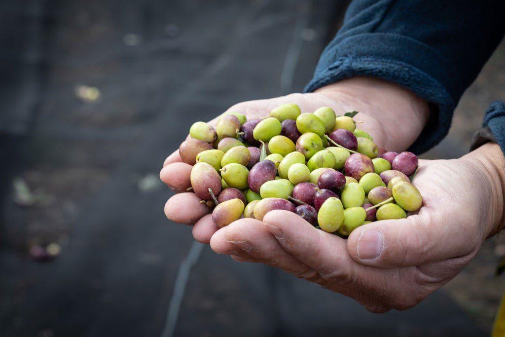 Varietes Olives Masdecoeur